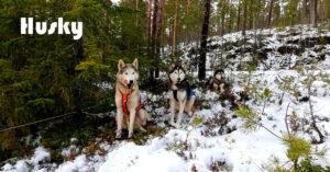 Észak kutyája - a Husky